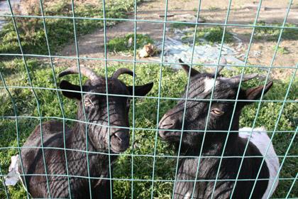 アルバのヤギ2匹1